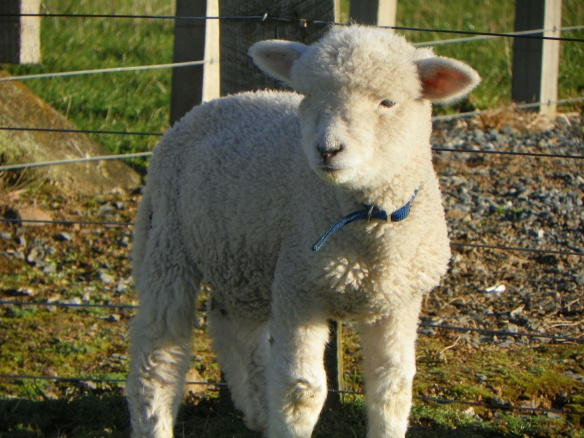 sheep, John 10