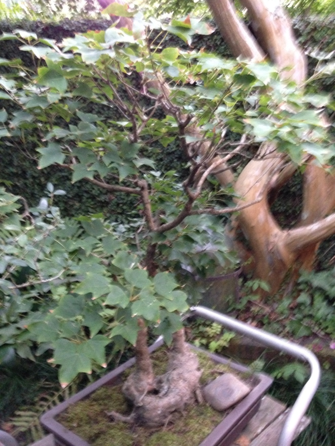 Aging well - bonsai tree